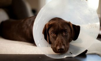 Dog wearing protective cone - pet insurance