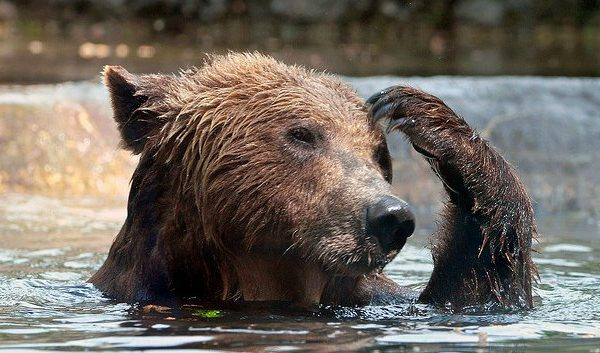 bear scratching his head