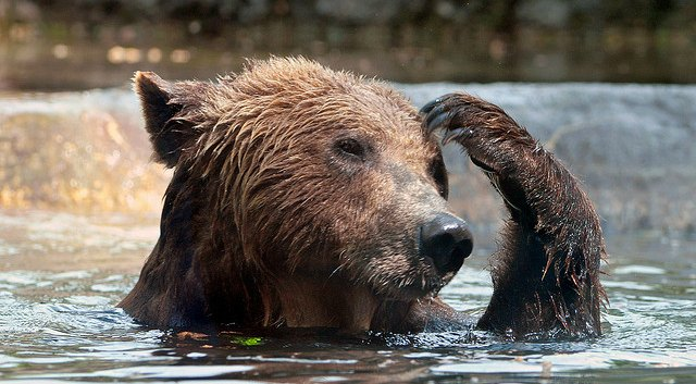 bear scratching his head