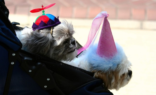 dogs in stroller wearing hats
