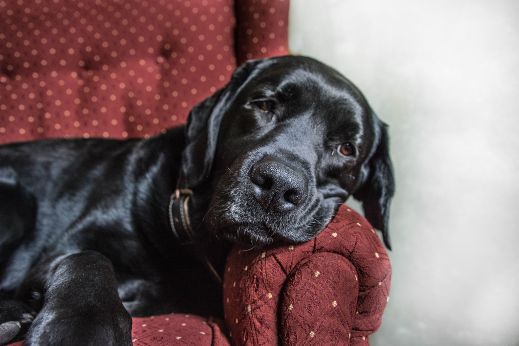 dog sleeping on old chair used furniture