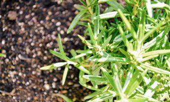 rosemary in herb garden