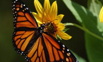 monarch butterfly yellow flower - the golden butterfly portfolio