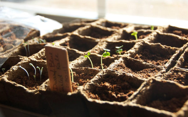 seeds sprouting in planters