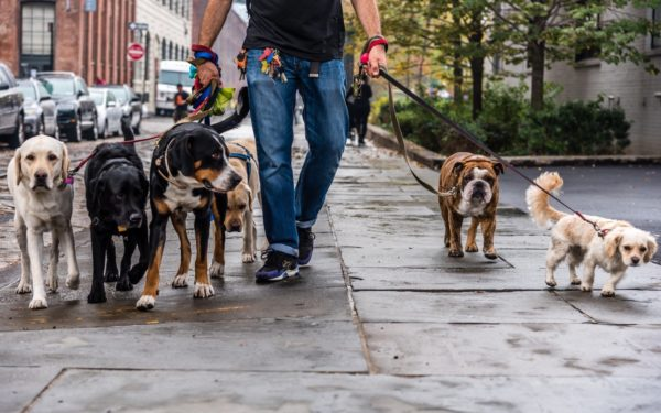 how to make a living as a professional dog walker