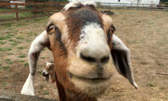 goat in his pen