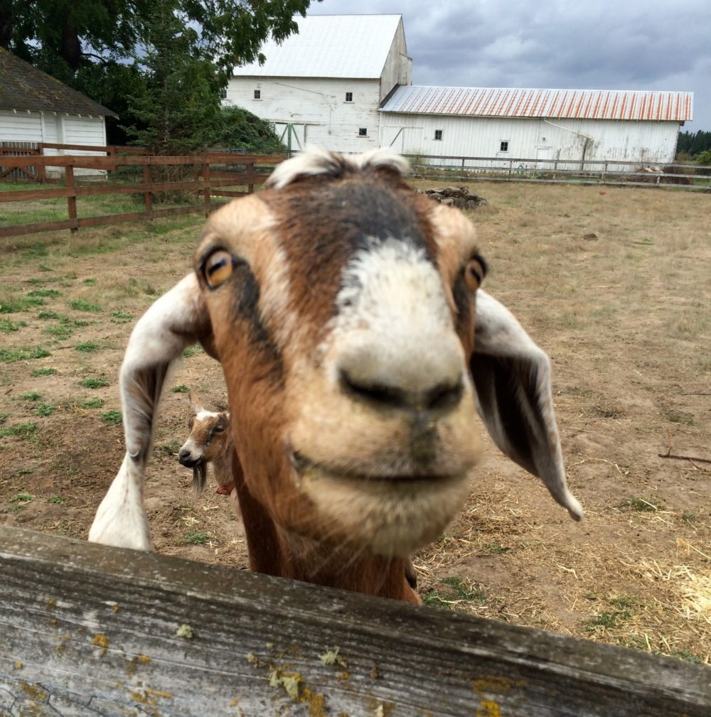 Our House Came With Two Goats -- and They're Heartbreaking