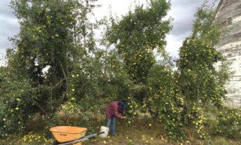 apple picking how to make apple cider how to make hard cider