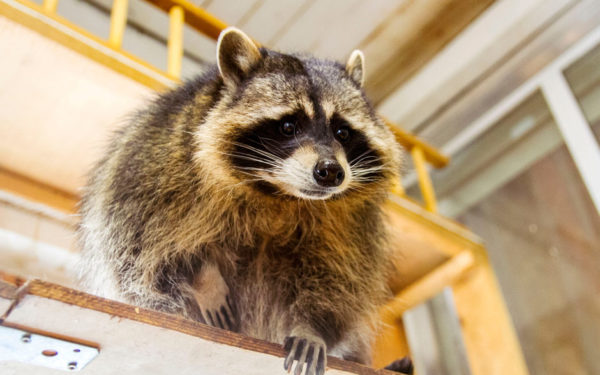 raccoon on a shelf - homeowners insurance covers most wild animal damage